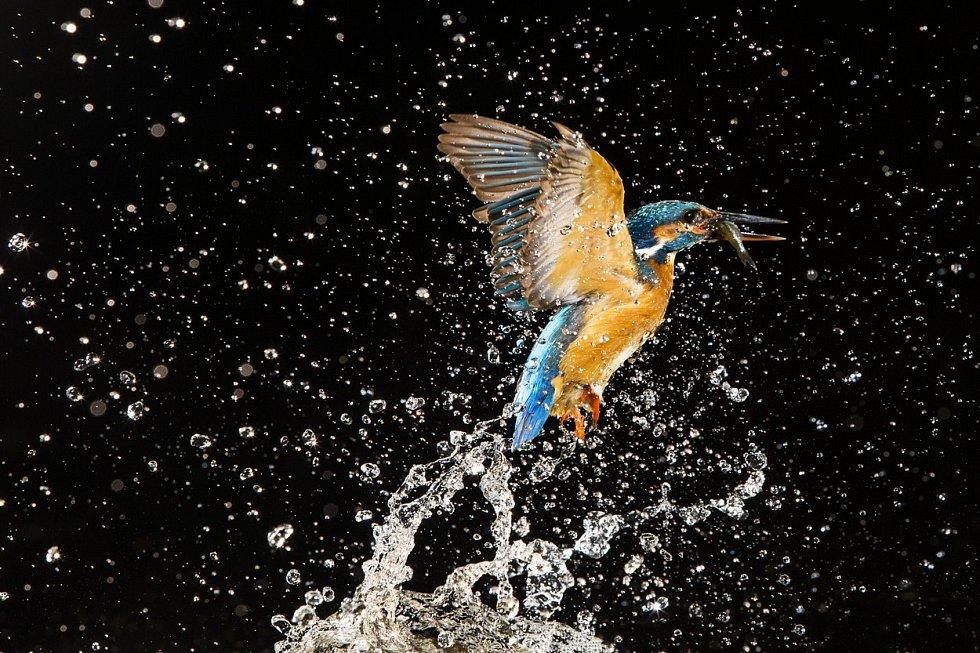 Ledňáček říční pozoruje svoji kořist klidně, ale loví střemhlavým útokem. Pro rybku se dokáže potopit až metr pod hladinu. Bohužel ne vždy je úspěšný. Na řece v holandském městečku Naarden však fotograf Jeroen Stel zachytil ledňáčka slavícího vítězství.