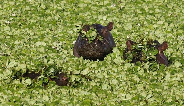 OBRAZEM: Ráj hrochů je špinavý a zapáchá