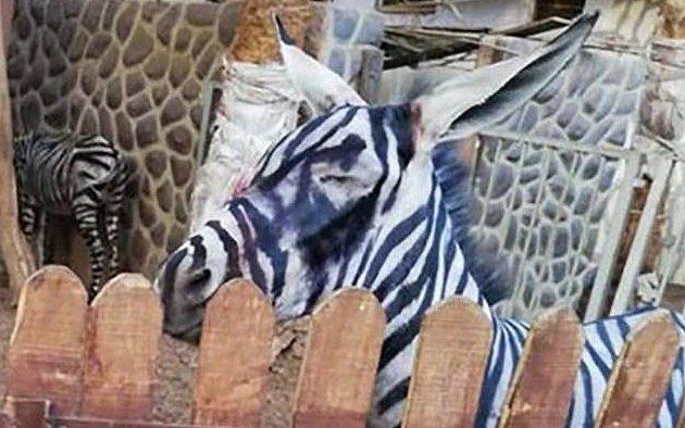 Je to zebra, nebo osel?