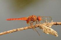 Vážka se svlečkou v indickém Radžastánu