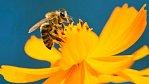 Včely cítí emoce. Jsou pesimistické a trápí se