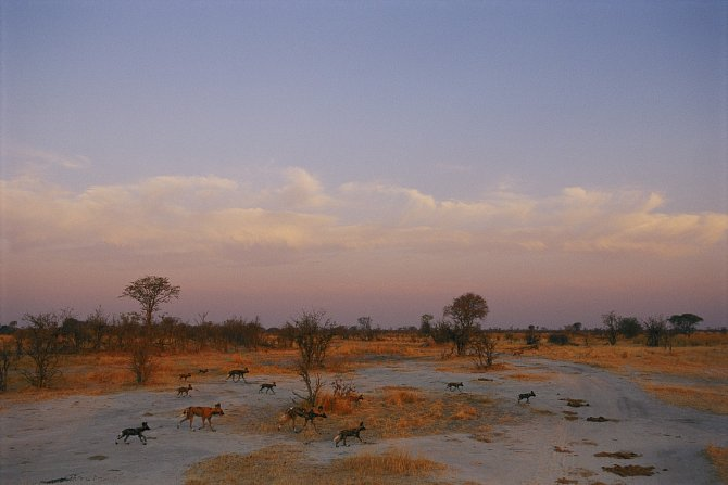 Smečka psů hyenovitých