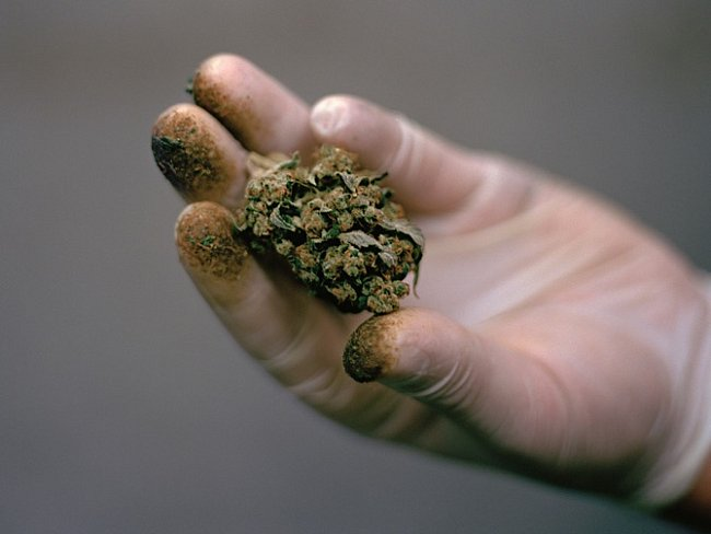 Zastánci marihuany jsou přesvědčeni, že ostouzená rostlina může prodloužit život apomoci vboji proti nemocem abolesti. Pěstitel konopí ze Seattlu drží                      květenství odrůdy zvané Blueberry Cheesecake pokryté krůpějemi pryskyřice.