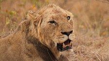 Jak umírá král zvířat? V poslední bitvě bojují lvi sami a dlouho