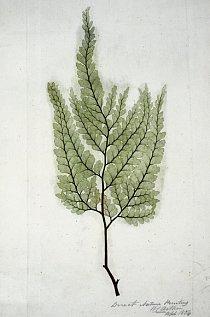 Kapradí Vějířovité listy kapradin kdysi tvořily korunu lesů. I některé novodobé kapradiny se dosud řadí mezi stromy, většinou jsou to však dnes menší rostliny. Jejich vějířovité listy se natahují z d