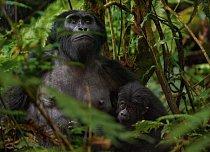 Gorilí samice kojí mládě v Národním parku Bwindi. Když byla rezervace roku 1991 otevřená, vesničané protestovali, že nesmí do lesa, kam chodili pro med a dřevo. Dnes profitují z peněz, které za vstup