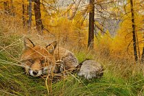 Ležící liška nenápadně číhá vpodzimním lese. Stejně jako ostatní lišky i ty, které žijí vGran Paradisu, jsou přizpůsobiví oportunisté; chytají ryby, loví zajíce nebo sbírají odpadky po piknicích.
