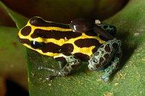 """Vajíčka jihoamerických pralseniček neboli """"šípových žab"""" se nevyvíjejí ve vodě, ale na souši. Rodiče proto musí snůšku hlídat a pravidelně vlhčit."""