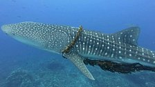 Rybářské lano o průměru 12 centimetrů se zařezávalo žralokovi do ploutví.