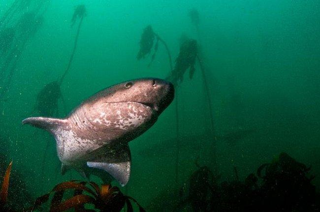 Jižní Afrika: Širokonosý sedmižaberní žralok