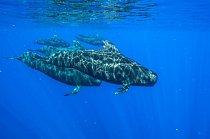Kulohlavci plavou u ostrova Kona (Havajské souostroví). Skupiny těchto kytovců někdy sledují žraloci dlouhoploutví – možná se živí zbytky jejich kořisti.