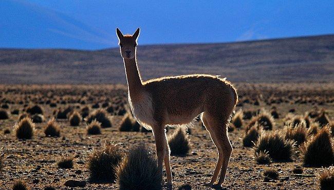 Severní Chile: V kraji divokých lam