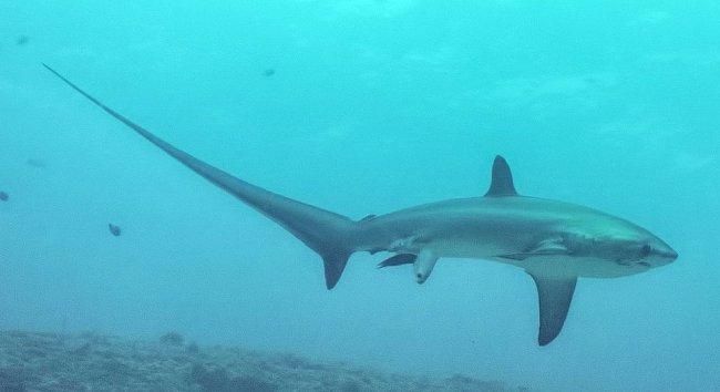 Vědci mají zato, že toto je vůbec první fotografie oceánského živočicha uprostřed porodu.