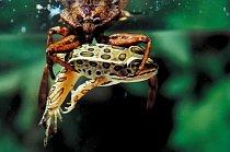 Nelehký žabí život