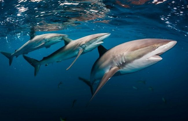 Jardines de la Reina, Kuba: Žralok hedvábný
