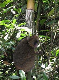 Lemur širokonosý (Prolemur simus) se vyskytuje na malých plochách v deštných lesích blízko východního pobřeží Madagaskaru.