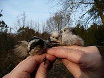 Na první pohled roztomilá stvořeníčka mají v sobě čerta. Jakmile se k sobě dostanou blíž, začne lítat peří:)
