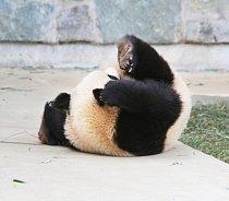 Kotrmelec pandu překvapil.