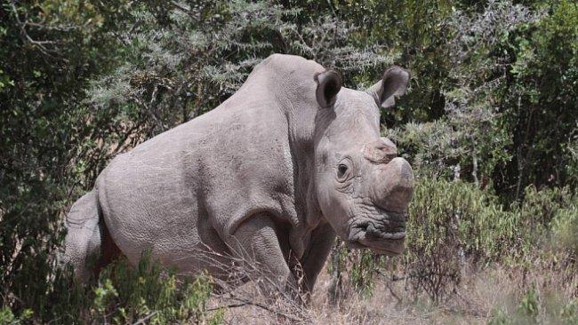 Čeští nosorožci se v Africe snaží zachránit svůj druh