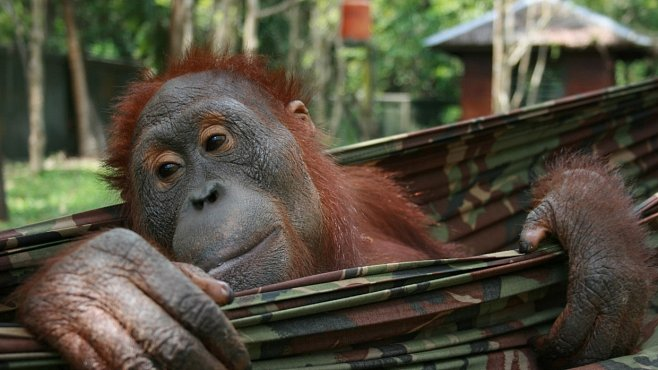 Deníky orangutanů: Sledujte život lidoopích sirotků
