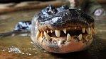 Jak se krotí krokodýli - osobně a ve vodě