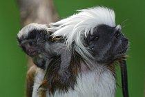 Tamarín pinčí, který na svém hřbetě vozí potomky, s velkou pravděpodobností není matka. Je to otec mláďat!