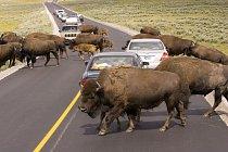 Připravte se na to, že v Yellowstonském národním parku na severovýchodě USA se vám na ploše 8980 m2 může do cesty připlést i stádo bizonů.