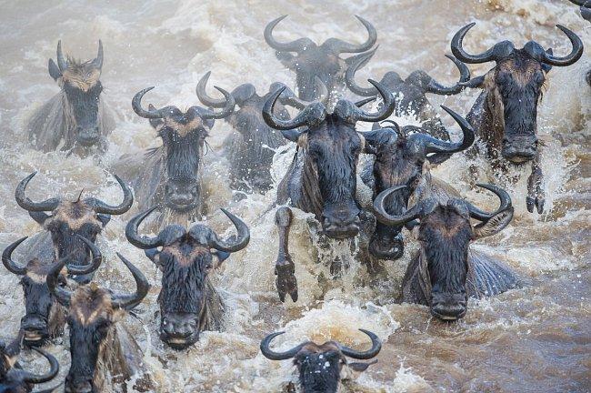 Mnoho zvířat se zde utopí. Ve vodě navíc číhají krokodýli, kteří hravě vyhrávají boj s mladšími a slabšími.