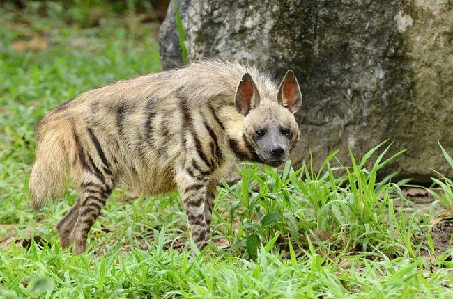 Hyena žíhaná žije v Asii. Najdete ji v Turkmenistánu nebo třeba v Indii.
