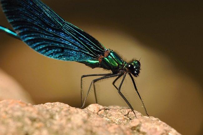 Motýlice obecná (Chrudim, ČR)