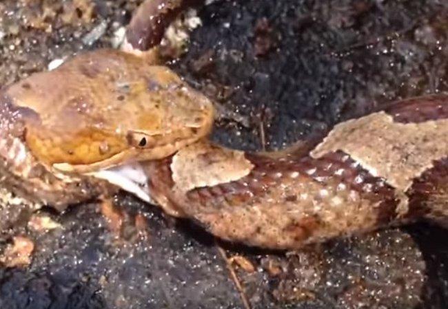 Hadí hlava kouše vlastní oddělené tělo