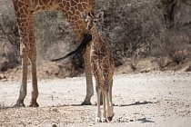 Žádné dvě žirafy nemají stejné kresby na srsti.