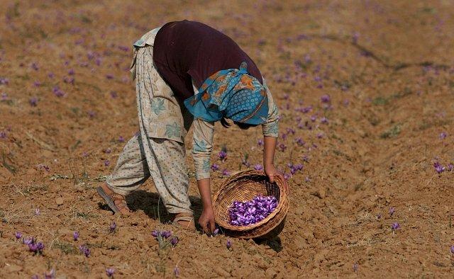 Vesničané z Pampore v Indii sbírají vzácný šafrán.