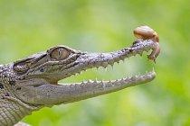 Statečného šneka nevyděsila otevřená tlama krokodýla.