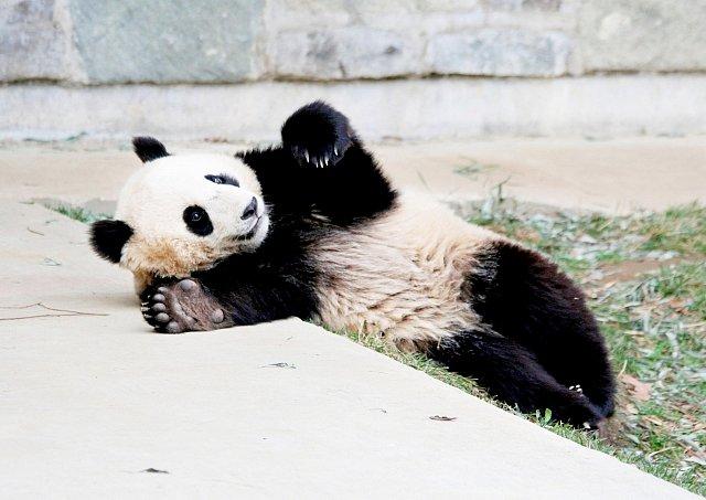 Panda dokáže být zábavná i ve spánku.