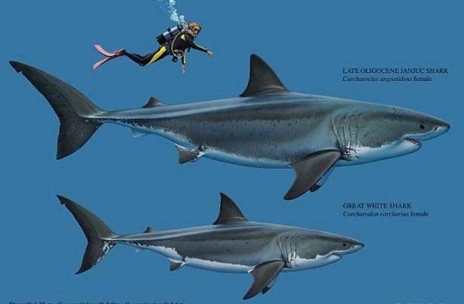 Srovnání velikosti žraloka bílého a vyhynulého druhu Carcharocles angustidens