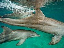 Delfíni skákaví, jako jsou tito delfíni zÚstavu mořské  biologie naostrově Roatán vHondurasu, patří kživočichům snejvětším mozkem vpoměru kcelkové velikosti těla.  Vědci se snaží rozluštit jejich složité zvukové projevy.