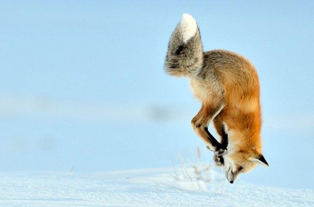 Hladová liška