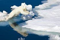 Lední medvědi zase čekají, až led dostatečně zamrzne a oni se budou moci vypravit na lov.