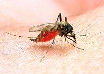 Komár druhu anopheles.
