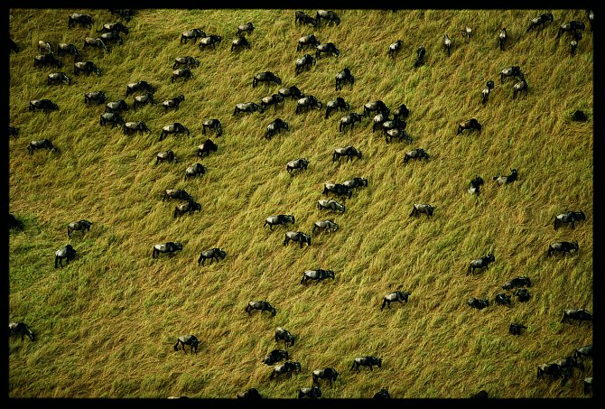 Pastva bůvolů