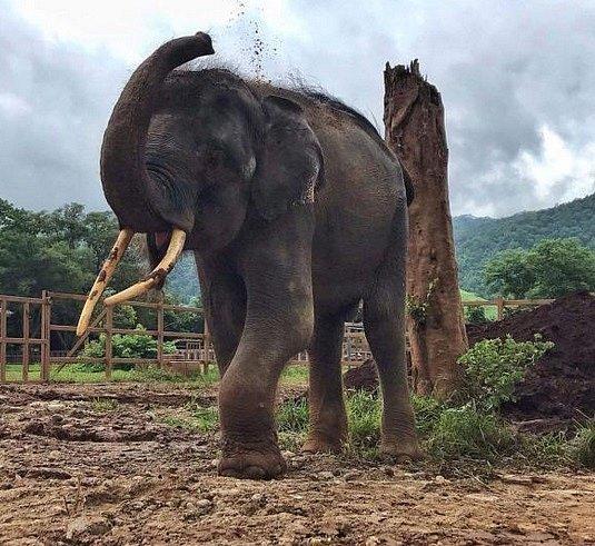 8. srpna 2019 – Gluay Hom zbavený řetězů si ve Sloním přírodním parku hází hlínu na záda.