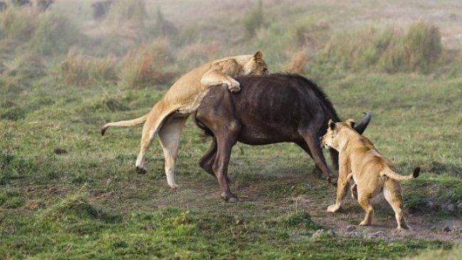 Foto story: Lví smečka proti buvolovi. Kořist nemá šanci