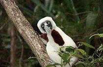 Počkej, co že to řekli? Tento lemur sifaka na Madagaskaru má nějaké tajemství.