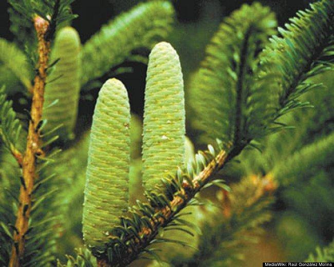 Jedle Abies beshanzuensis  roste ve střední a východní Asii.