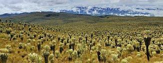 Porost klejovek (rod Espeletia) v Andách.