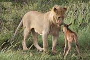 Přátelství mezi lvem a antilopou?