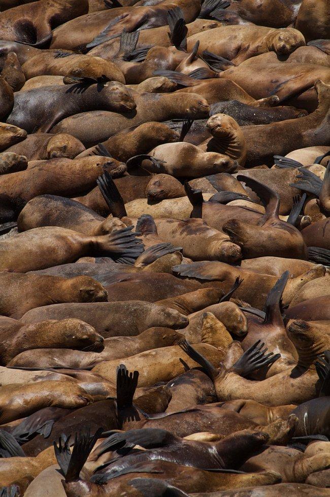 Peruánské pobřeží je rájem pro lvouny a jedním z nejpřecpanějším břehů planety.