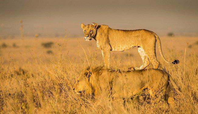 Národní park Nairobi náleží k nejznámějším národním parkům v Keni, kde se lze setkat i s párem lvů.