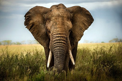 Sloni mají opravdu dobrou paměť, zvlášť co se týká krajiny a sociálních vazeb.